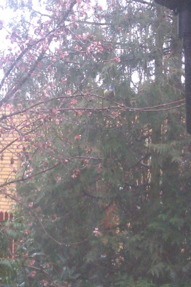 Den Ihærdige Blåmejse i Kirsebærtræet